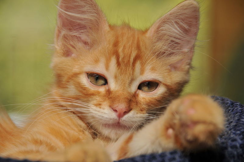 Close-Up Portrait Of Ginger Kitten Relaxing On Bed