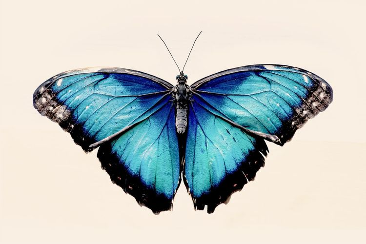 Large blue butterfly on a white background Insect Invertebrate Animal Wing Animal Themes Animal One Animal Animal Wildlife White Background Beauty In Nature Butterfly - Insect Blue Animals In The Wild Close-up Animal Markings No People Nature Outdoors Natural Pattern Studio Shot Butterfly