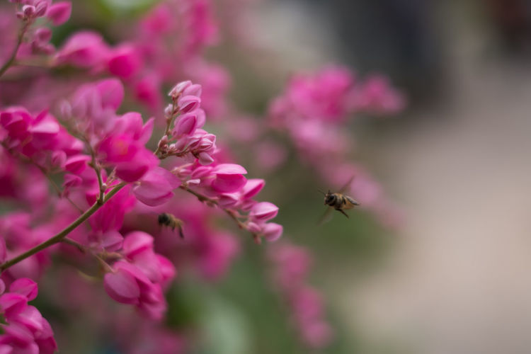 Bee is flying to absorb the pink pollen or Confederate Vine Corallita. nature wallpaper and texture copy space. Bush Chain Of Love Social Animal Background Beautiful Bee Blossom Bumblebee Closeup Field Floral Flower Garden Green Honey Insect Natural Nature Petal Pink Plant Pollinate Wallpaper Wildlife