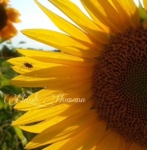Sunflower Nature_collection Flower Collection EyeEm Nature Lover