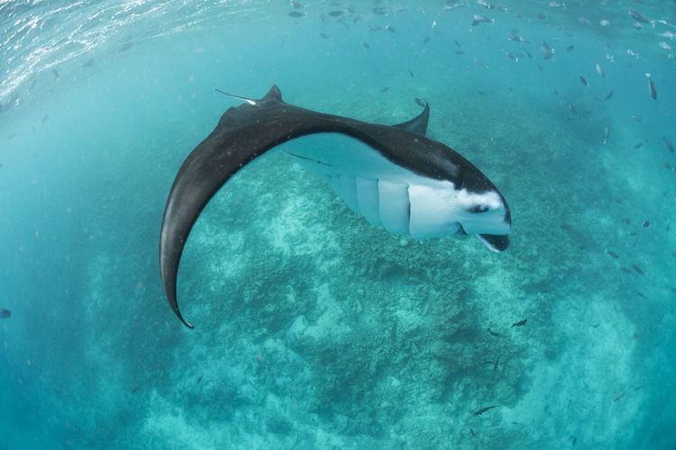 Wide angle view of a manta ray, in baa atoll ,madives