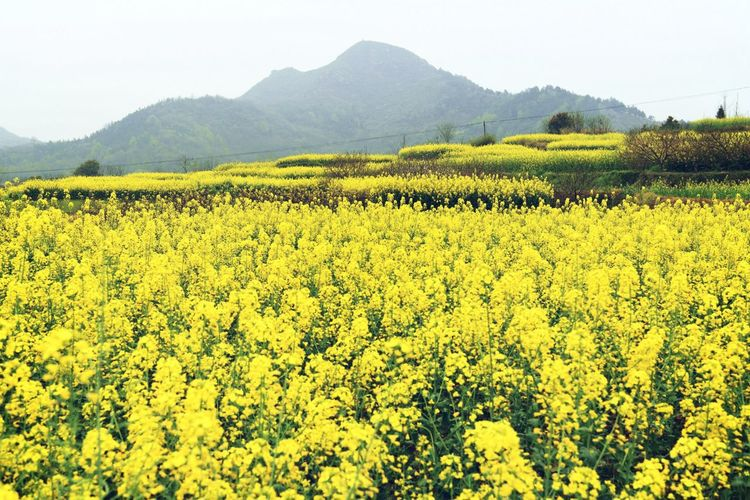 Tree Tea Crop Rural Scene Agriculture Mountain Field Crop  Sky Landscape Agricultural Field Sunflower Plantation Rice Paddy Rice - Cereal Plant Asian Style Conical Hat Satoyama - Scenery Pollen Vine Blooming Irrigation Equipment Sepal Oilseed Rape Cultivated Land Farmland Vineyard Farm Lush Foliage Terraced Field