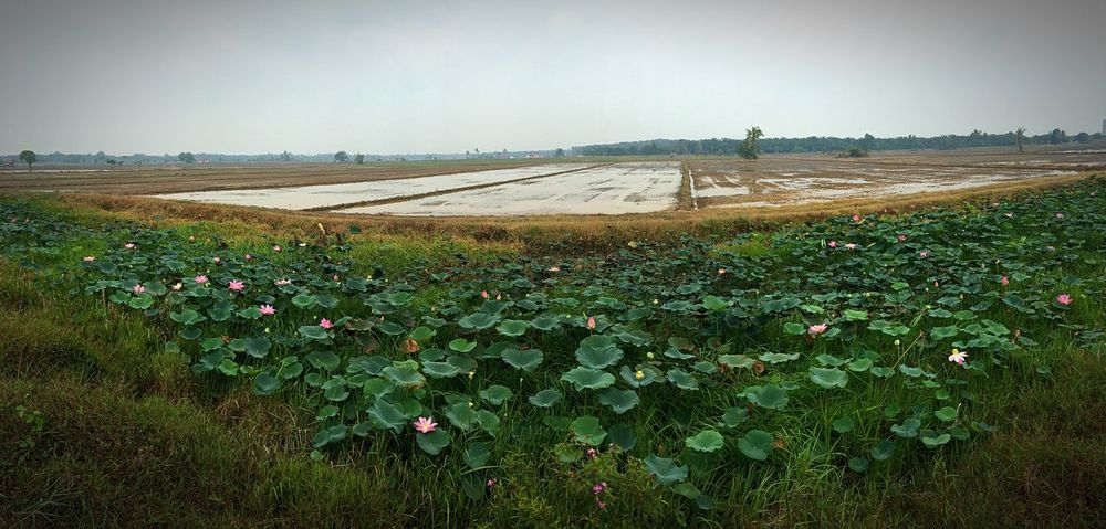 Panoramic Photography Panorama Paddy Field Paddy Harvest Time Malaysia Melaka IPhone 6s Plus IPhone Photography IPhoneography Landscape Hello World Flowers, Nature And Beauty Flower Lotus Flower