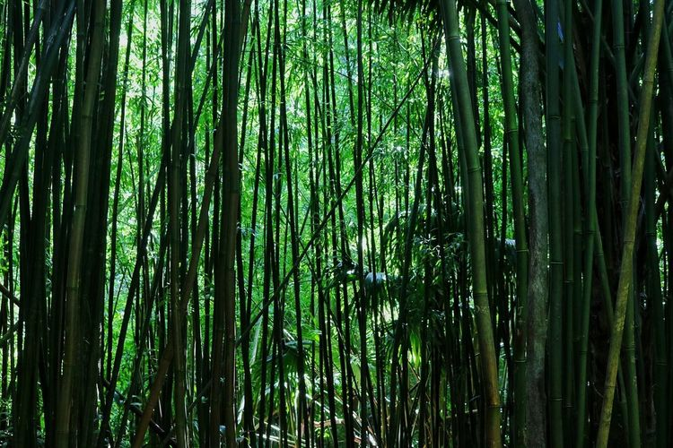 Bamboo Forest Abundance Bamboo - Plant Bamboo Grove Beauty In Nature Day Forest Green Color Growth Nature No People Outdoors Scenics Tranquil Scene Tranquility Tree Tree Trunk
