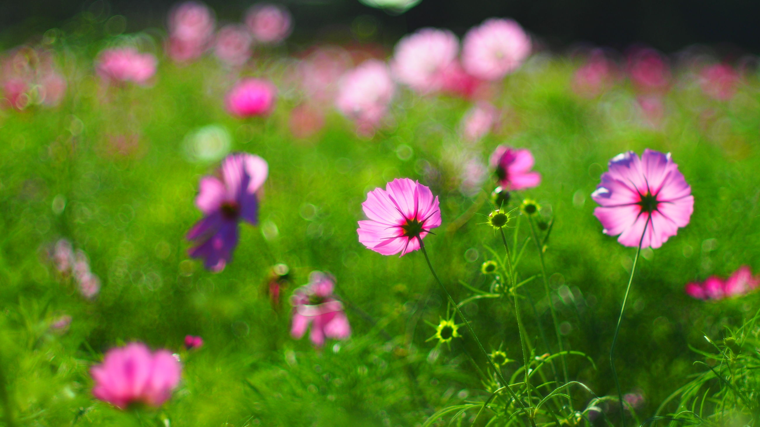 flower, freshness, fragility, growth, pink color, petal, beauty in nature, flower head, blooming, plant, nature, field, focus on foreground, purple, in bloom, close-up, green color, pink, stem, selective focus