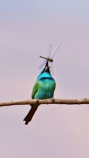 Low angle view of green bee eater against clear sky