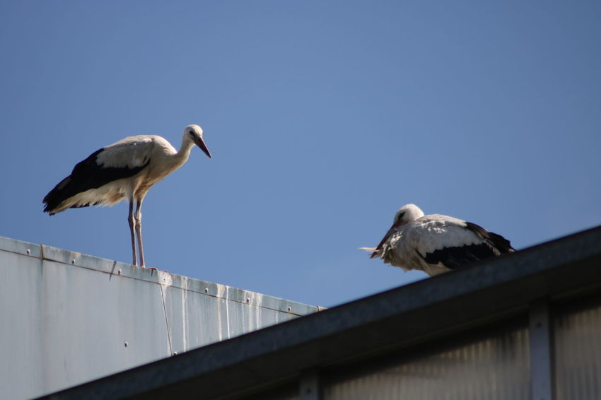 Clear Sky Animal Themes Animal Wildlife Animals In The Wild Bird Day Low Angle View Nature No People Outdoors Perching Sky Stork Storks White Stork Young Stork