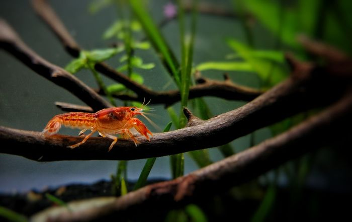 Invertabrate Dwarf Crayfish Cpo Aquarium Aquaculture Aquascape Fishkeeping Aquascaping Aquatic Life Aquarium Life Aquarium Photography Aquatic Life Freshwater Aquarium Crawdad Crayfish Bird Tree Perching Branch Insect Animal Themes Green Color