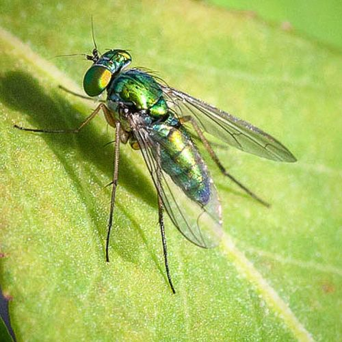 Long Legged Fly Macrophotography Bns_macro Bns_buginsects Insect Bug Longleggedfly Fly Green