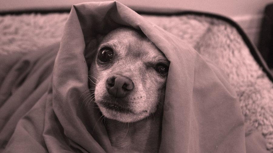 Dog snuggles under blanket looking at camera
