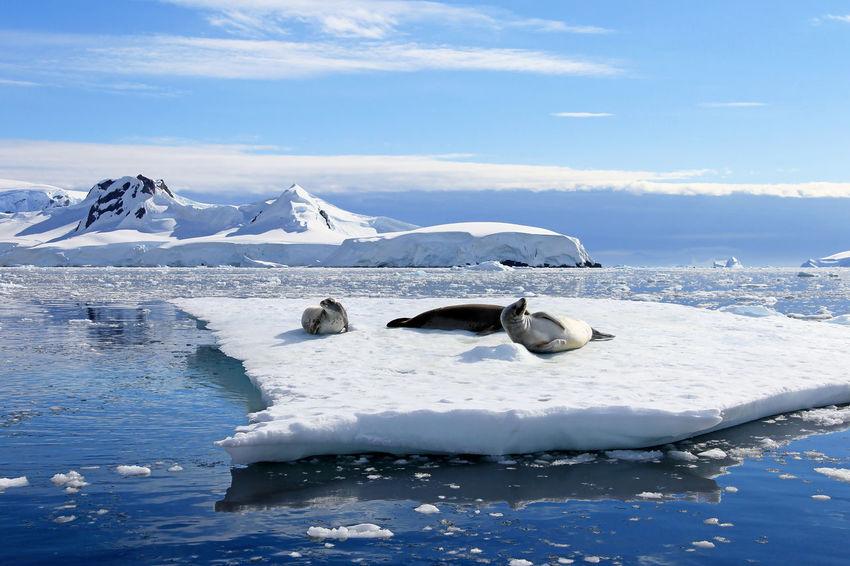 Crabeater seals on ice floe, Antarctic Peninsula, Antarctica Antarctic Antarctica Ice Nature South Pole Travel Wildlife & Nature Animal Arctic Cold Crabeater Crabeater Seal Floe Icefloe Landscape Mammal Pole Sea Seal Seals Snow Tour Tourism Weddell Seal Wildlife