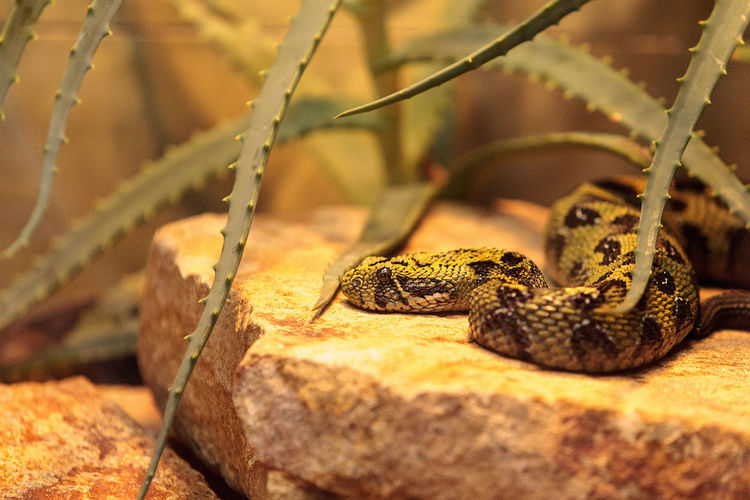 Ethiopian mountain adder known as Bitis parviocula is found in the mountains of southwest Ethiopia Adder Bitis Parviocula Ethiopian Mountain Adder Herp Herpetology Snake Venom Venomous