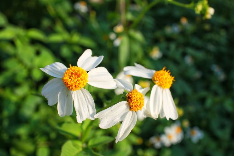 Close-Up Of Daisy Flowers Growing Outdoors