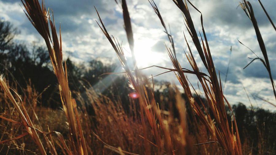 EyeEm Selects Rural Scene Outdoors Sky Nature Close-up Plant Sunlight Day No People Crisp Ozark Morning Backlit Grass Stalk Sunlight Clouds-sun-sky