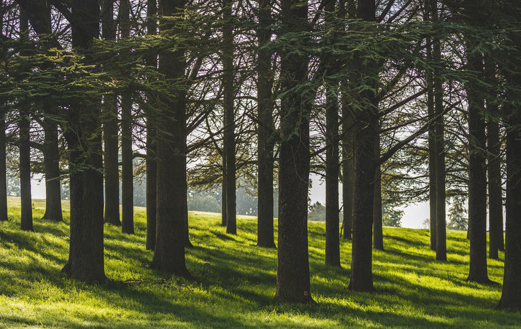 A peaceful grove of trees in Woodstock, England, north of Oxford. Beauty In Nature Day Forest Grass Green Color Landscape Nature No People Outdoors Plant Scenics - Nature Sunlight Tranquil Scene Tranquility Tree Tree Trunk Trunk WoodLand