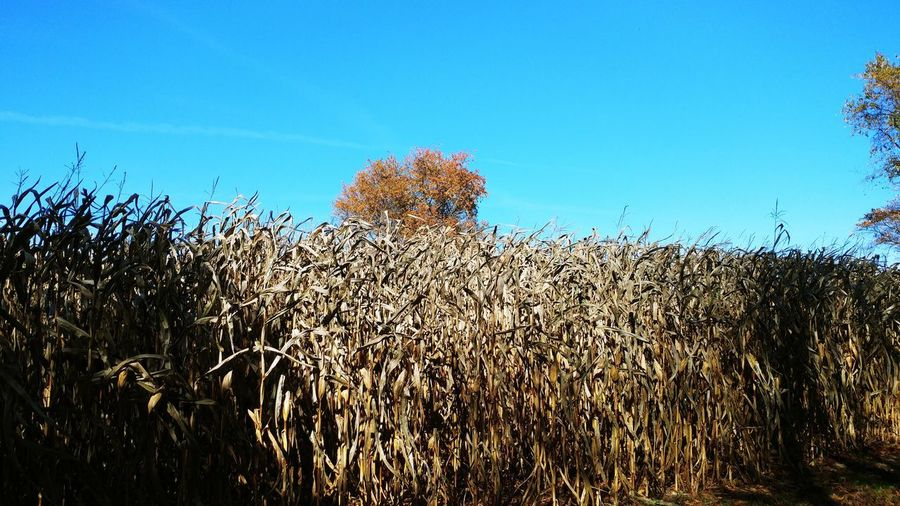 Maize Plant Sky