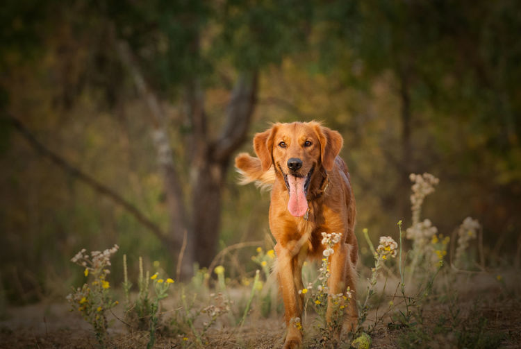 Golden Retriever dog portrait in field Dog Canine One Animal Domestic Animal Themes Mammal Pets Domestic Animals Animal Portrait Looking At Camera No People Panting Golden Retriever Golden Retriever Field Nature Outdoors