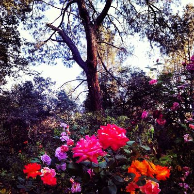 Tree Clouds And Sky Garden Photography Garden Rose - Flower Roses Oroville California Clouds