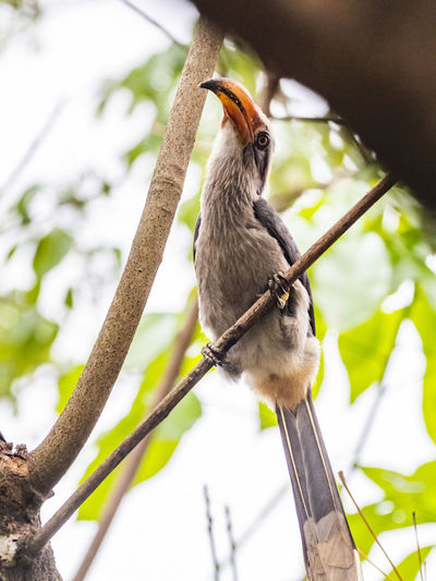 Malabar Grey Hornbill (Ocyceros griseus) Animal Wildlife Animals In The Wild Animal Animal Themes Bird One Animal Vertebrate Perching Nature No People Day Outdoors Plant Branch Tree Focus On Foreground Low Angle View