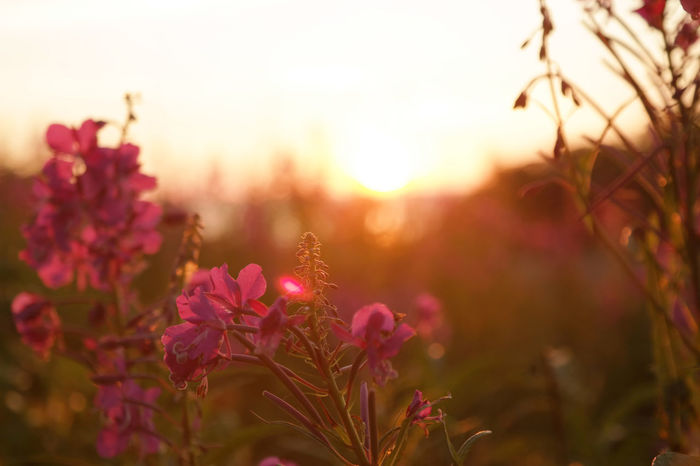 Lythrum Virgatum Beauty In Nature Close-up Day Field Flower Flower Head Flowering Plant Focus On Foreground Fragility Freshness Growth Loosestrife Nature No People Outdoors Petal Pink Color Plant Selective Focus Sky Sunset Vulnerability