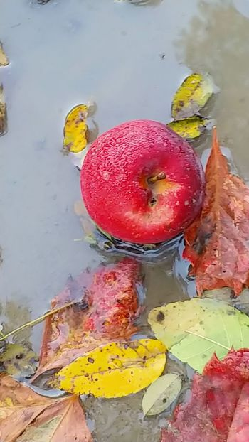 LG V30 Nature Nature_collection Naturelovers Autumn Autumn colors Fall Beauty Rocking Red After The Rain Multi Colored Yellow Red Close-up Puddle Apple