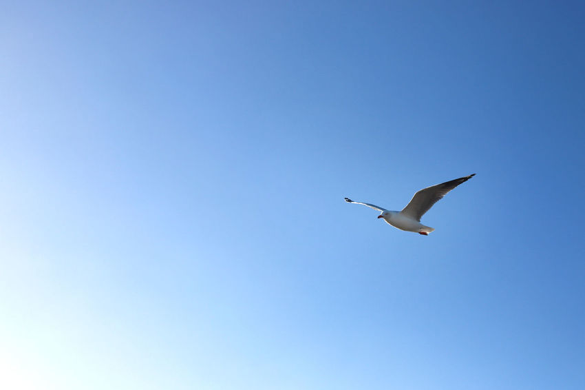 flying seagull Animal Animal Themes Animal Wildlife Animals In The Wild Bird Blue Clear Sky Copy Space Day Flying Low Angle View Mid-air Motion Nature No People One Animal Outdoors Seagull Sky Spread Wings Vertebrate