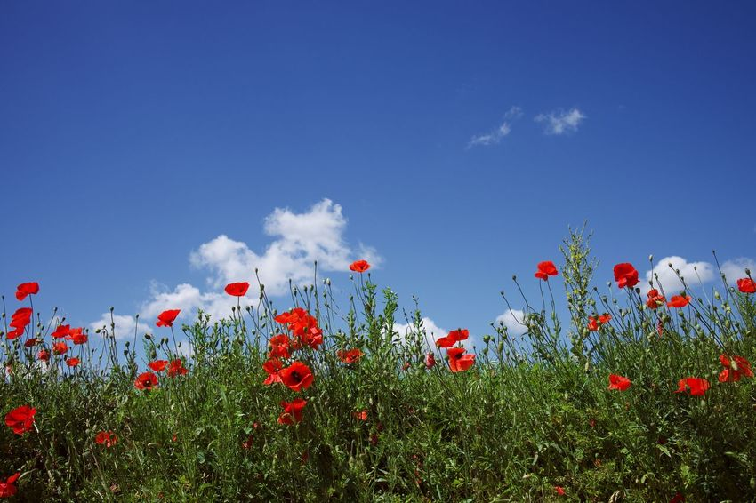 Flower Plant Flowering Plant Growth Freshness Beauty In Nature Sky Red Fragility Nature Day Field No People Land Cloud - Sky Poppy Blue Springtime Petal