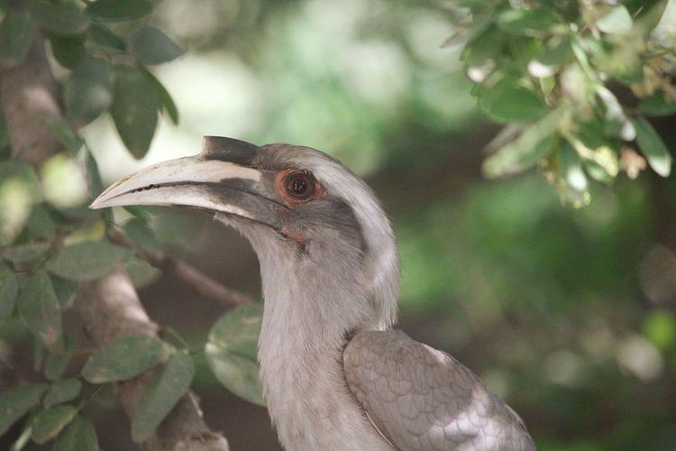 Grey Hornbill Hornbill Bird Photography EyeEm Selects Animal Wildlife Beak Close-up No People Outdoors Day
