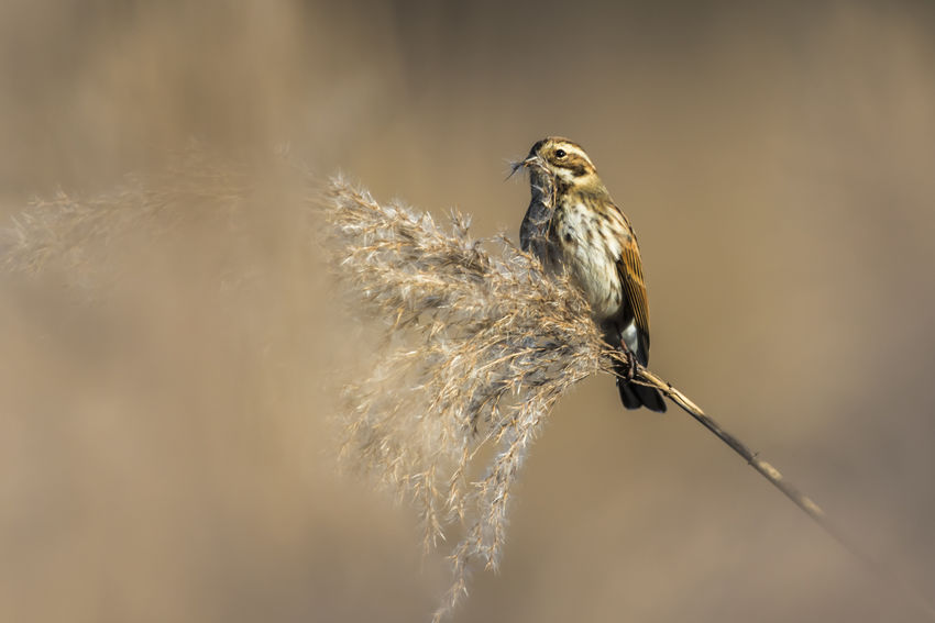 A common reed bunting is sitting on a branch Bird Photography Bird Photograpy Branches Emberiza Schoeniclus Field Nature Animal Animals Life Animals World Birds World Branch Branchlet Bunting Common Reed Bunting Daylight Landscape Outdoors Reeds, Weeds, Marshland, Marsh, Singing Bird Songbirdfromheaven Wildlife