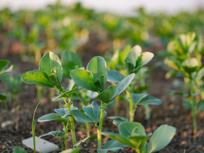 Leaf Growth Plant Part Plant Green Color Nature Beauty In Nature Focus On Foreground Land Field Close-up No People Day Outdoors Tranquility Freshness Vulnerability  Beginnings Fragility Selective Focus Leaves Plantation Fava Beans