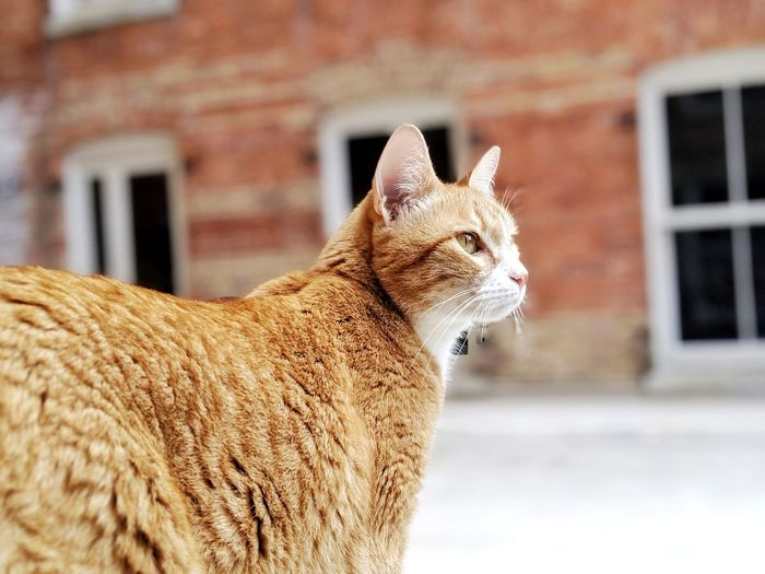 My Pet Pets Domestic Cat Close-up Building Exterior Built Structure Whisker Feline Tabby Cat Ginger Cat At Home Kitten