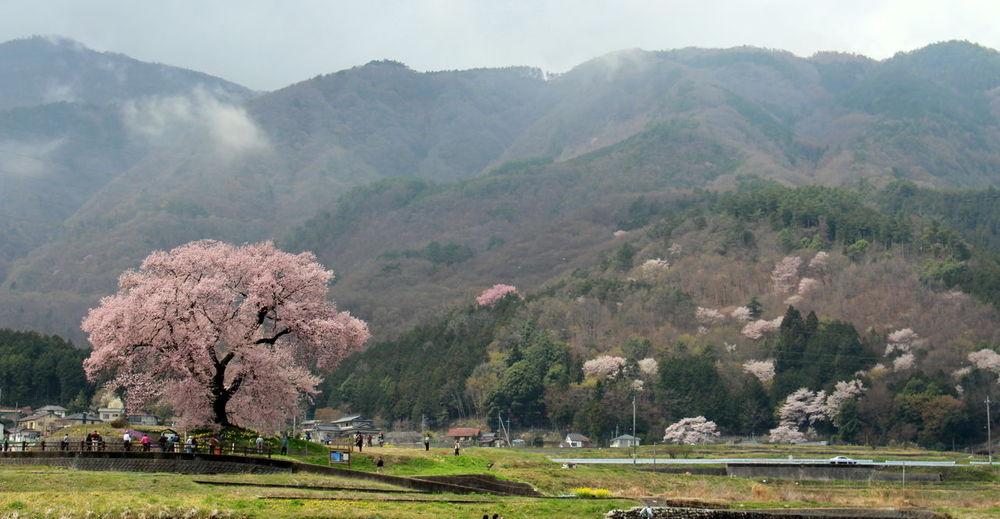 Spring Season is here! Cherry Blossoms Japan Nature Pink Sakura Sakura2016 Season  Spring 桜