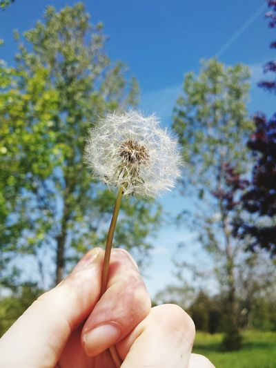 Human Body Part Human Hand Holding One Person Personal Perspective Human Finger People Nature Uncultivated Focus On Foreground Close-up Outdoors Tree Day Adult Sky Fragility Flower Beauty In Nature Dandelion Dandelion Seed Dandelionfluff Flowers Flowerhead Sky And Clouds