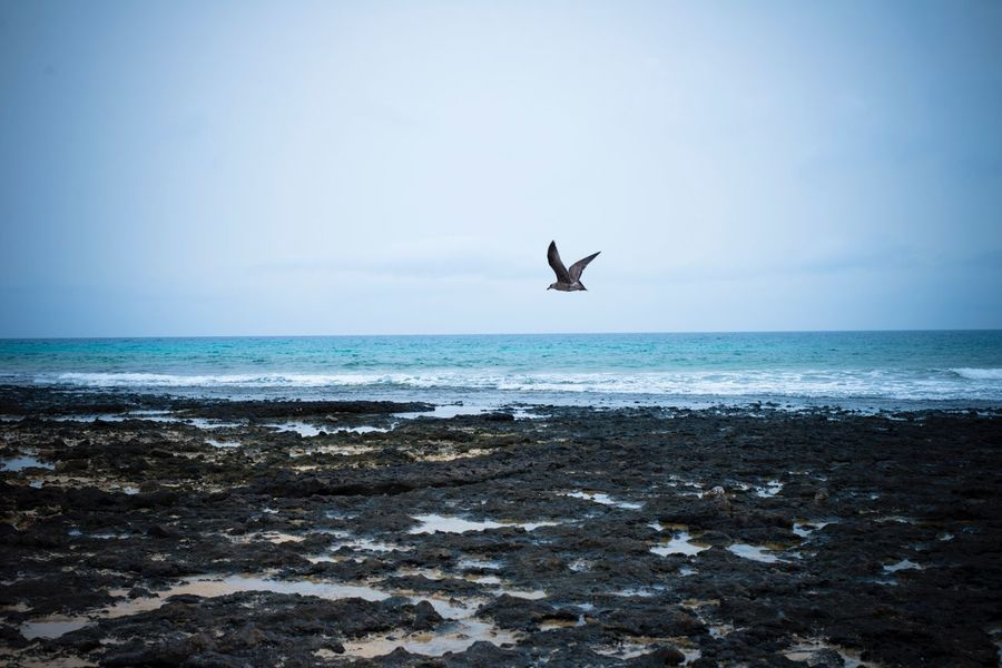 Bird Sea Bird Animal Themes Horizon Over Water Animals In The Wild Flying One Animal Beach Animal Wildlife Scenics Clear Sky Nature No People Tranquil Scene Beauty In Nature Tranquility Day Outdoors Water Spread Wings Fuerteventura Corralejo