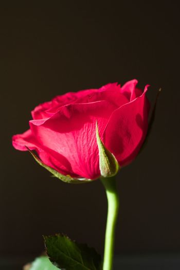 Red Rose Flower Petal Fragility Flower Head Beauty In Nature Growth Freshness Nature Plant Stem Close-up No People Red Rose Romantic Roses Lover's Rose Floral Photography Red Flower Stem Rose Stem Red Flower Blooming Leaf Day Outdoors