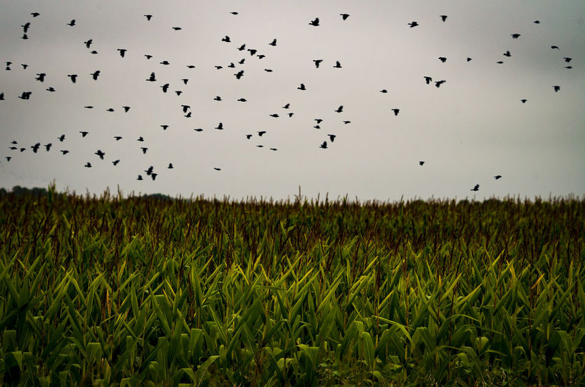 Agriculture Animal Animal Themes Animal Wildlife Animals In The Wild Beauty In Nature Bird Cornfield Field Flock Of Birds Flying Group Of Animals Land Landscape Large Group Of Animals Mid-air Nature No People Outdoors Plant Rural Scene Sky Vertebrate