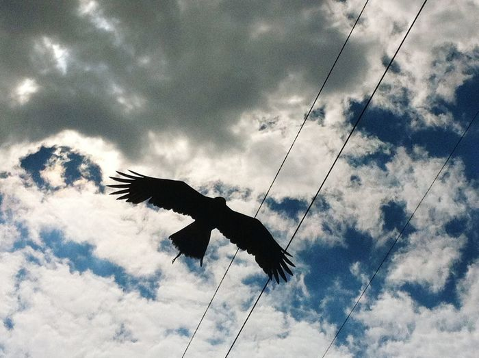 Bird Flying Beauty In Nature Nature Day Outdoors Silhouette Sky Animal Wildlife Animals In The Wild Cloud - Sky One Animal Animal Themes No People Low Angle View Spread Wings Hawk Hawk Flying