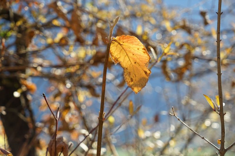 Leaf Branch Close-up Nature Focus On Foreground Plant Change Tranquility Leaves Growth Day Beauty In Nature Outdoors Scenics Fragility No People Tranquil Scene Herbst Herbststimmung Switzerland Wallis Guttet