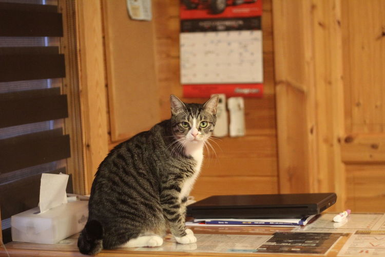 Animal Themes Day Domestic Animals Domestic Cat Feline Home Interior Indoors  Japanese Cat Looking At Camera Mammal No People One Animal Pets Portrait Sitting