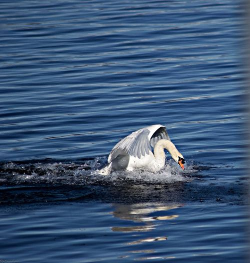 Side view of a swan in blue rippled water