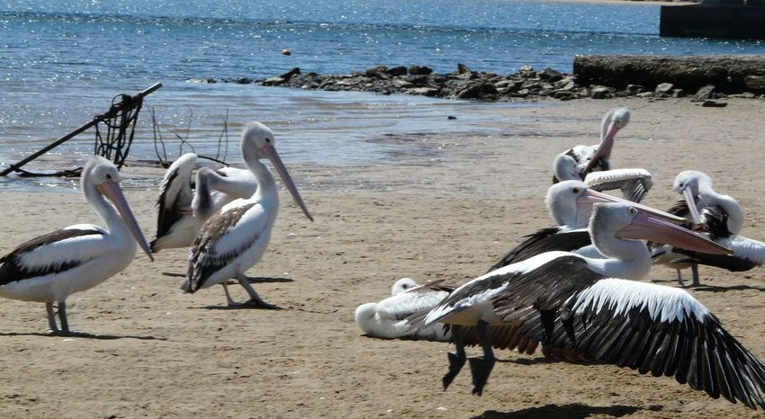 Australian Landscape Beauty In Nature Birds Day Mogareeka Nature No People Outdoors Pelicans Sea And Sky Sea Birds Tathra