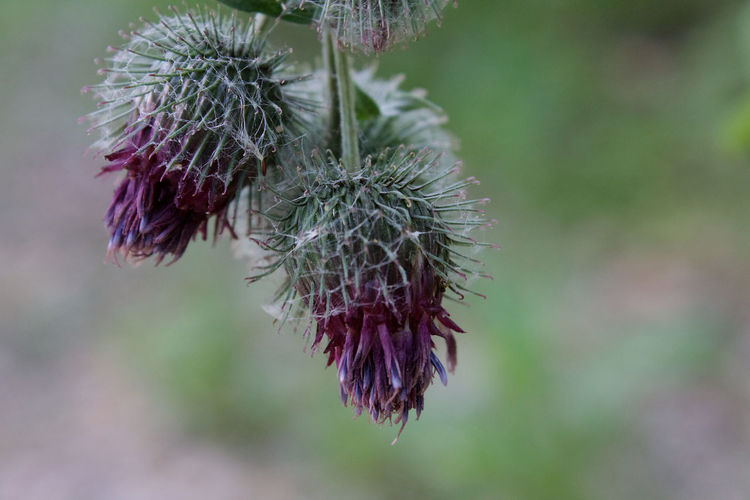 Beauty In Nature Close-up Day Green Color Growth Nature No People Outdoors Plant Plant Stem Purple Spiky Thistle