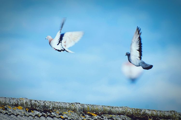 Flying Sky Blue Nature Animal Spread Wings Animals In The Wild