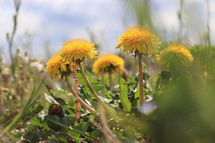 dandelions in