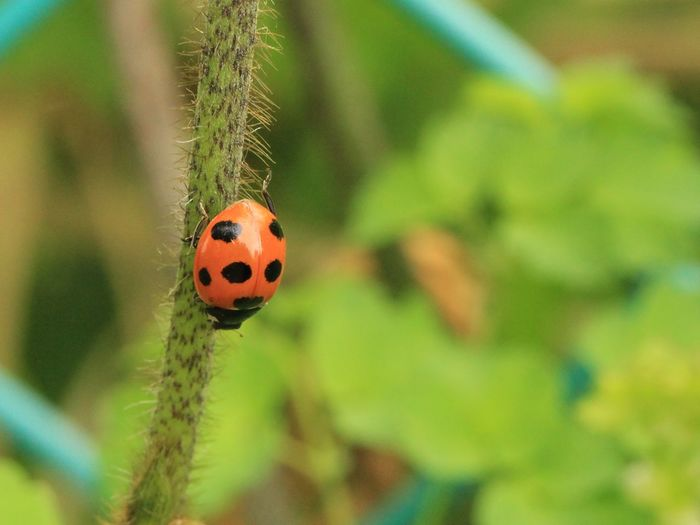 Macro Photography 雑草 野草 Wildflower Ladybug Insect Red Tiny Close-up Animal Themes Plant