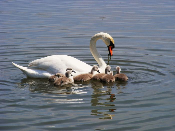 Swan With Young Ones In Water