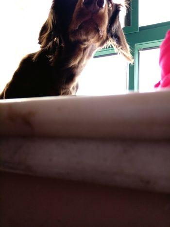 My Puppy Dog Cute Pets Dog❤ I Love My Dog Dachshund Dachshundlove Dog Lover Doggie Dog Love Dogs Of EyeEm Doglover Sausagedog Hello World