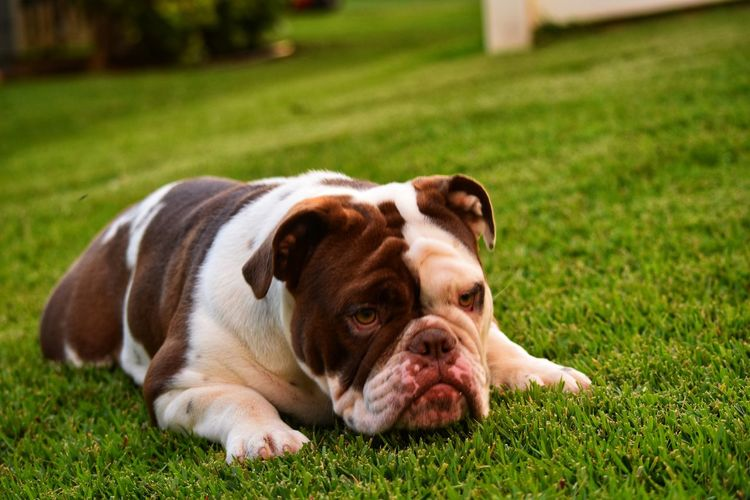 Portrait of puppy lying on grass