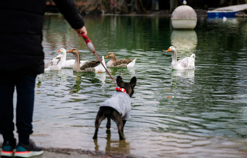French bulldog and owner looking at geese swimming in lake