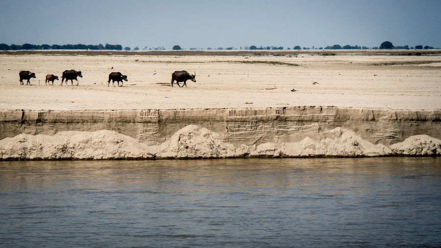 Buffaloes Walking By River Against Sky